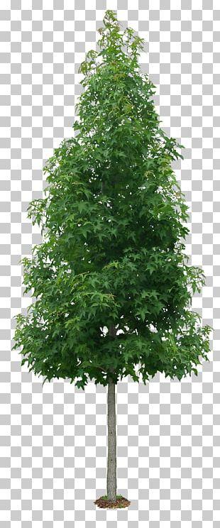 Tree Liquidambar Formosana Shrub Autumn Leaf Color PNG