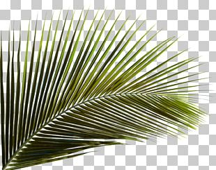 Arecaceae Leaf Palm Branch Areca Palm Coconut PNG