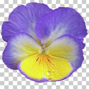 Violet Pansy Lilac Purple Flower PNG