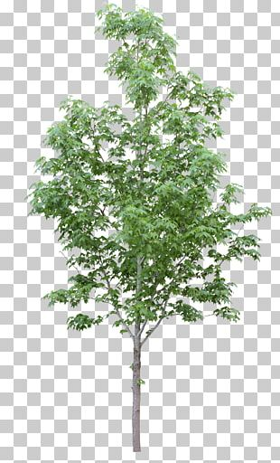 Acer Campestre Tree Oak Plant Stock Photography PNG