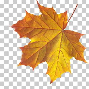 Autumn Leaf Color Maple Leaf Japanese Maple PNG