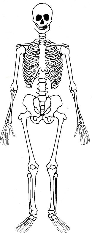 Human Skeleton Human Body Bone Anatomy PNG