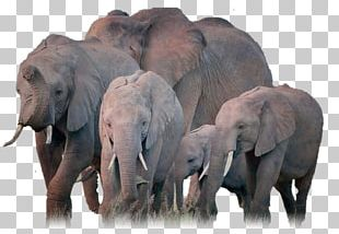 African Elephant Indian Elephant Herd PNG