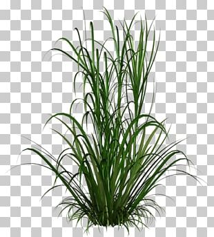 Ornamental Grass Ornamental Plant Chinese Fountain Grass PNG