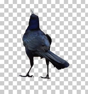 Rook American Crow Common Raven Bird PNG