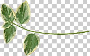 Leaf Plant Stem Herb PNG