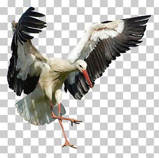 White Stork Bird Beak Flight Feather PNG