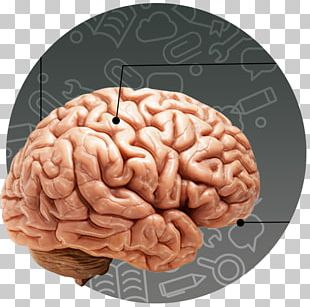 Human Body Human Brain Child Human Head PNG
