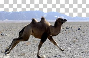 Wild Bactrian Camel Gobi Desert Endangered Species PNG