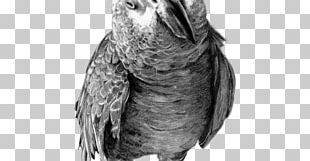 Parrot Drawing Birds Pencil Sketch PNG