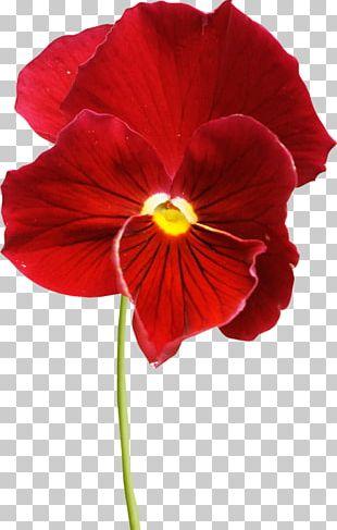 Pansy Flower Petal Violet PNG