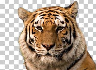 Bengal Tiger Siberian Tiger Golden Tiger South China Tiger Cat PNG