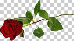 Centifolia Roses Flower Beach Rose Garden Roses Red PNG