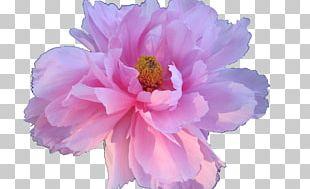 Pink Flowers Rose Pink Flowers Floral Design PNG