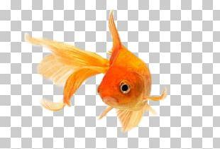Comet Fantail Common Goldfish Lionhead Ryukin PNG