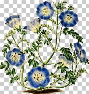 Menzies' Baby Blue Eyes Flower Botany Botanical Illustration PNG