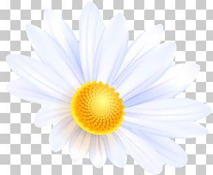 Common Daisy Flower Bouquet Desktop PNG