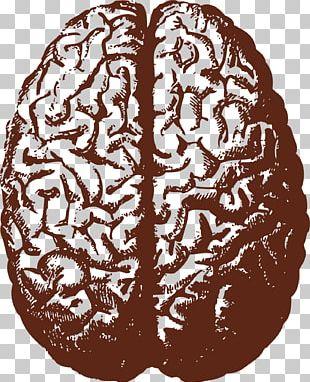 Human Brain Stock Illustration Illustration PNG