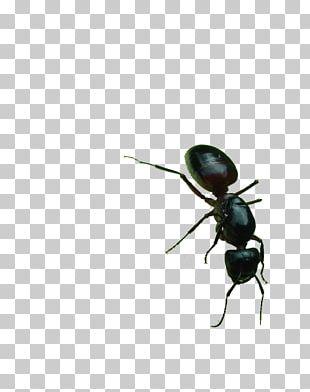 Black Garden Ant PNG
