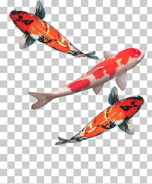 Butterfly Koi Goldfish Aquarium Fish Feed PNG