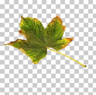 Maple Leaf Green Yellow PNG