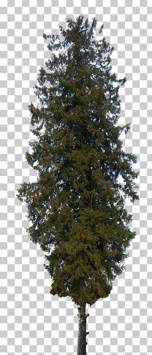 Pine Tree Shrub Cedar PNG