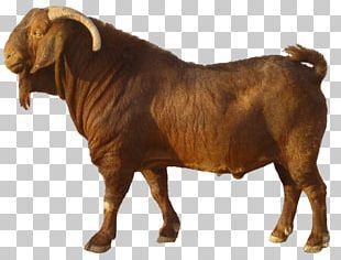 Boer Goat Jamnapari Goat Kalahari Red Goat Farming Sate Kambing PNG
