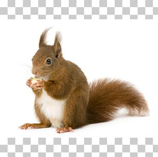 Eastern Gray Squirrel Raccoon Red Squirrel Red Fox Brown Rat PNG