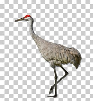 Sandhill Crane Red-crowned Crane Definition PNG