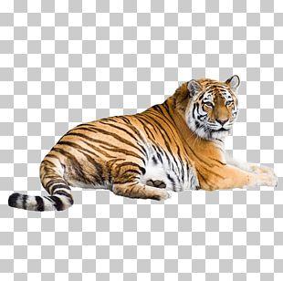 Siberian Tiger White Tiger Bengal Tiger Cat PNG
