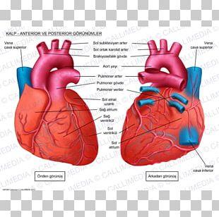 Human Heart Anatomy Circulatory System Coronal Plane PNG
