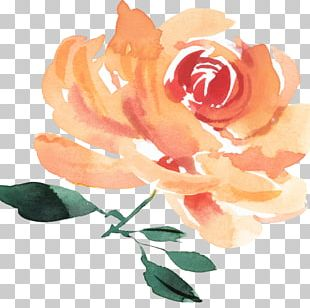Garden Roses Cabbage Rose Cut Flowers Person PNG