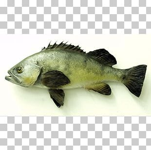 Tilapia Fish Products Barramundi Perch Oily Fish PNG
