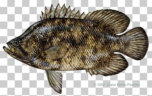 Tilapia International Game Fish Association Atlantic Tripletail Tag And Release PNG