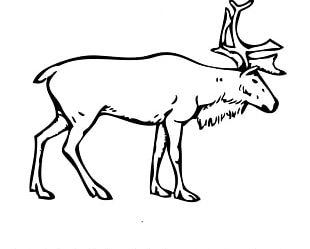 Finnish Forest Reindeer Porcupine Caribou Arctic Boreal Woodland Caribou PNG