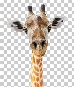 Giraffe Felidae Head Stock Photography Face PNG