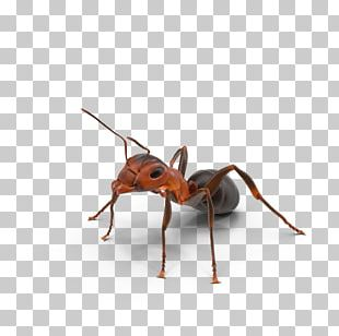Ant Texas Insect PNG