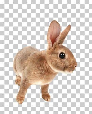 Mini Rex Netherland Dwarf Rabbit Domestic Rabbit PNG