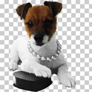 Jack Russell Terrier Parson Russell Terrier Miniature Fox Terrier Puppy Dog Breed PNG