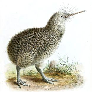 New Zealand Bird Little Spotted Kiwi Okarito Kiwi Great Spotted Kiwi PNG