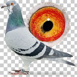 Racing Homer Columbidae Homing Pigeon Pigeon Racing Beak PNG