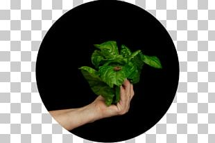 Leaf Herb PNG