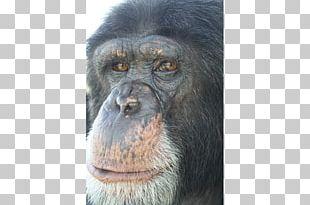 Common Chimpanzee Gorilla Primate Monkey Animal PNG