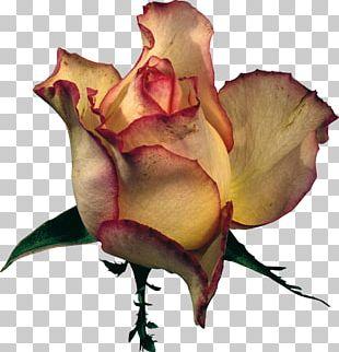 Beach Rose Flower Garden Roses PNG