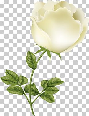 Garden Roses Centifolia Roses Cut Flowers Bud Petal PNG