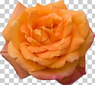 Garden Roses Computer Icons PNG