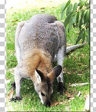 Wallaby Reserve Kangaroo Fur Terrestrial Animal Snout PNG
