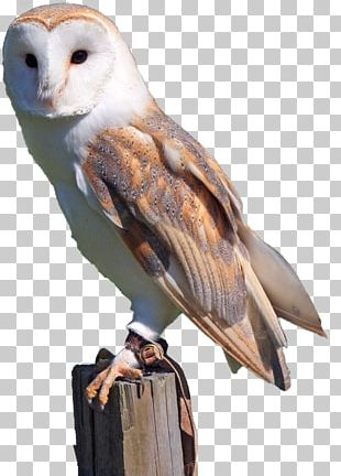 Barn Owl Bird Of Prey Snowy Owl PNG