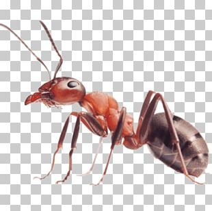 Red Imported Fire Ant Insect Carpenter Ant PNG