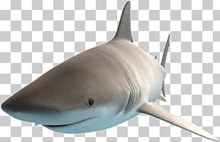 Great White Shark Requiem Sharks Bull Shark Shark Cage Diving Lamniformes PNG